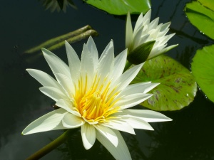 White Lotus Day Theosophy Wiki